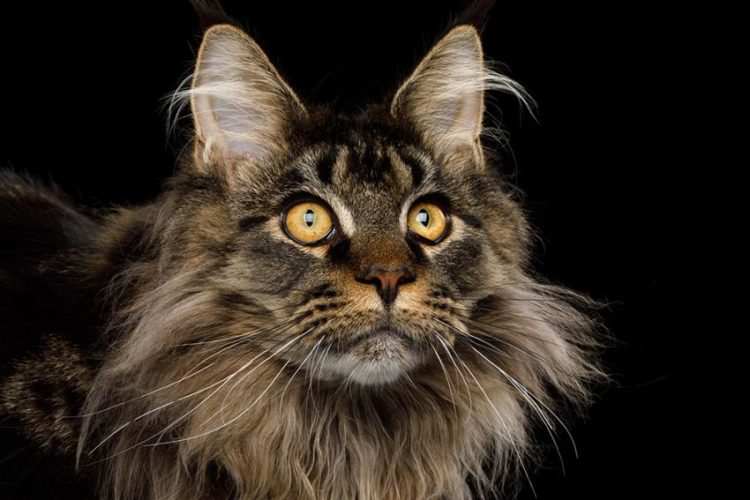 Maine Coon review. Negative, neutral and positive reviews