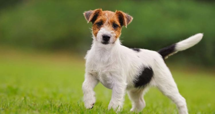 Jack Russell Terrier review  Negative, neutral and positive